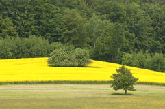 Canola Fields Royalty Free Stock Photography
