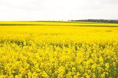 Canola Fields Royalty Free Stock Image