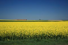Canola Fields. An Endless Blooming Canola Fields Against Clear Blue Sky,Germany Stock Photos