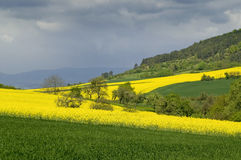 Canola fields. Blooming canola fields on the hillside against a low mountain range. With space for copy royalty free stock images