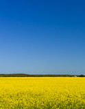 Canola fields 2063 Stock Images