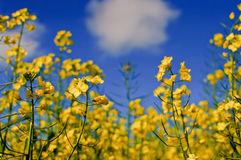 Canola Fields Stock Images