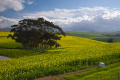 Canola fields Stock Image