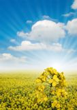 Canola Fields. Royalty Free Stock Images