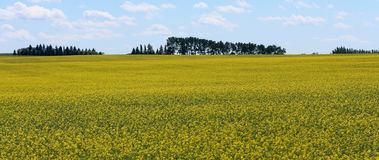 Canola fields. In Alberta, Canada royalty free stock image
