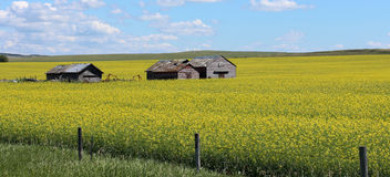 Canola fields in Alberta, Canada Stock Image