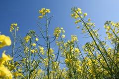 Canola fields in the Ampurdan, near  Monells, Girona province, C Royalty Free Stock Photography