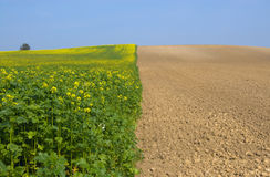 Canola Fields in autum royalty free stock photography