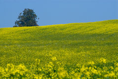 Canola Fields in autum Stock Image