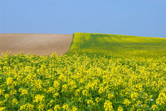 Canola Fields in autum royalty free stock images