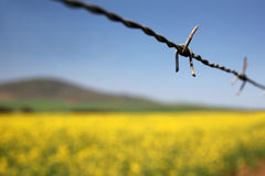 Canola fields and barbed wire Royalty Free Stock Image