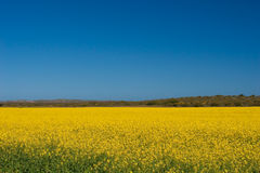 Canola fields in bloom Stock Photography