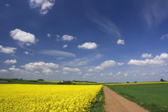 Canola fields and blue sky Stock Images