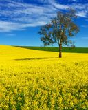 Canola Fields. Bright yellow  colorful Canola farm field with blue sky and eucalyptus f Stock Photos
