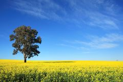 Canola Fields in Central West NSW Stock Photography