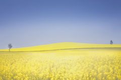 Canola fields Royalty Free Stock Images