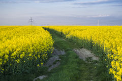Canola fields Stock Photography