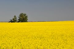 Canola fields before harvest Stock Photography