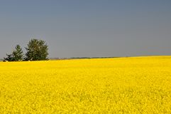Canola fields before harvest Stock Photo