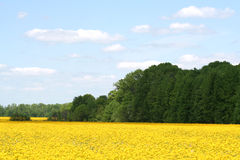 Canola Fields of Indiana Royalty Free Stock Photo