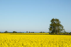 Canola Fields Landscape. Landscape with canola fields at the swedish island Oland Stock Photos