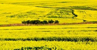 Canola fields Royalty Free Stock Photography