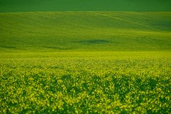 Yellow fields of canola or rape plants in full bloom. royalty free stock photography