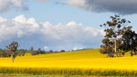 Canola fields pan. A panning shot of canola fields in rural new south wales, australia stock video footage