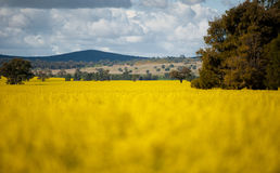 Canola Fields. Parkes, Mid NSW Australia Stock Photo