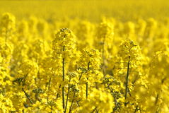 Canola fields or Rapeseed plant Stock Image