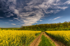Canola fields in remote rural area Stock Photography