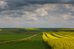 Canola fields in remote rural area Royalty Free Stock Photography