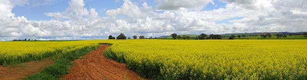 Canola Fields. The rich red earth of the Cowra shire produces the top 1-2% of Canola grown and harvested in Australia Royalty Free Stock Image