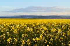 Canola fields in Romania Stock Photo