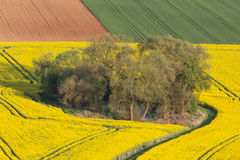 Canola fields in spring Royalty Free Stock Photo