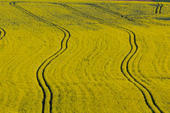 Canola fields in spring Stock Images