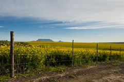 Canola fields with Table Mountain in the back. Breathtaking view of Table Mountain with fields of Canola flowers and a fence in the foreground with a blue sky Royalty Free Stock Photography