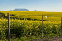 Canola fields view onto Table Mountain, pollution. View of Table Mountain with fields of Canola flowers and a polluted plastic bag stuck on fence in the Stock Image