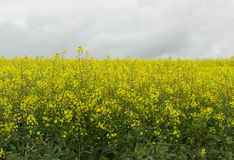 Canola fields. With yellow flower Royalty Free Stock Photography
