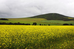 Canola fields. With yellow flower Royalty Free Stock Photos