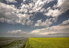 Canola and flax fields in Saskatchewan royalty free stock photos