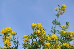 Canola flowe, κίτρινα λουλούδια Στοκ εικόνα με δικαίωμα ελεύθερης χρήσης