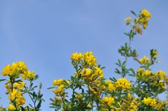 Canola flowe, yellow flowers. In the bluer sky Royalty Free Stock Image