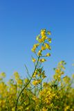 Canola Flower Royalty Free Stock Image