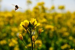 Canola flower and bee Stock Image