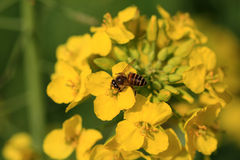 Canola flower and bee Stock Photo