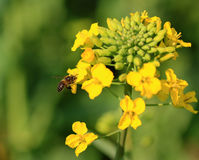 Canola flower and bee Stock Photography
