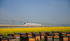 Canola flower and beehives. Here is the Chinese Qinghai Province MenYuan County Royalty Free Stock Photo