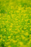 Canola Flower-Brassica�sp. Stock Images