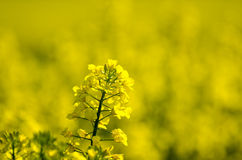 Canola flower closeup Stock Image